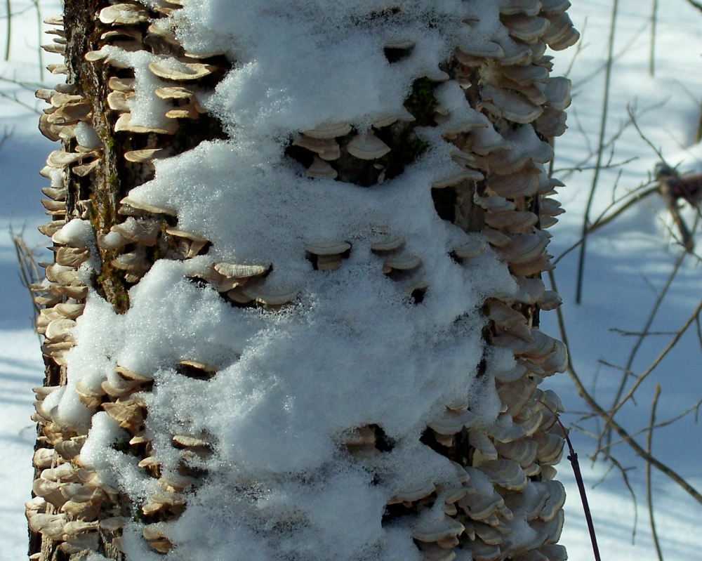 shelf fungi, snowshoeing, 22 Jan 2012