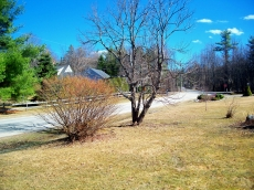 Poplar and front side yard, without snow - 21 March 2012