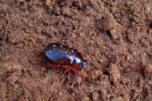 beetle in soil, 11 April 2012