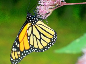 Monarch on Joe-Pye Weed, 14 Sept 2011