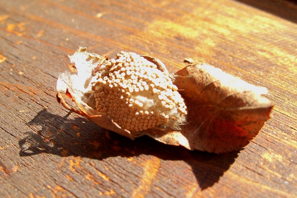 Rusty Tussock Moth egg case - 3 April 2012