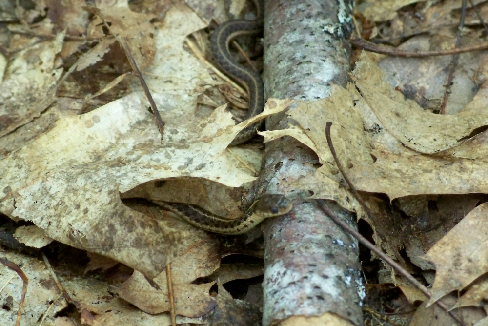 baby snake on trail, LCMP, 26 May 2012
