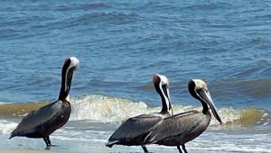 brown pelicans in surf, south dunes beach, JI, 26 April 2012