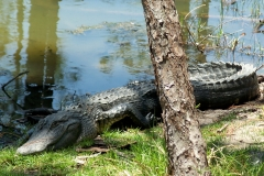 alligator by pond, 24 April 2012