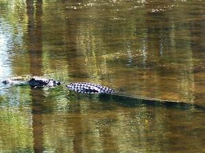 alligator at new pond, JI, 25 April 2012