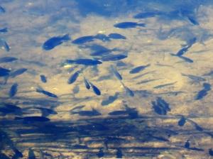 blue gills in new pond, JI, 25 April 2012