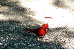 male cardinal at campground, JI, 26 April 2012