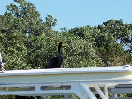 cormorant on boat in marina, 24 April 2012