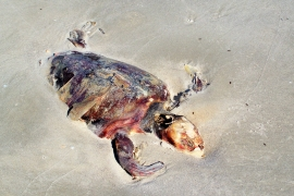 dead sea turtle, north beach,  JI, 25 April 2012