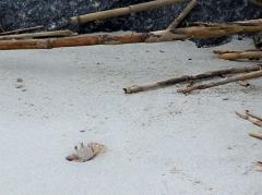ghost crab, JI, 21 April 2012
