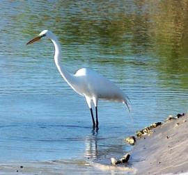 great egret hunting, south beach, JI, 27 April 2012