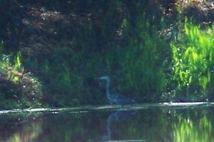 little blue heron, JI, 25 April 2012