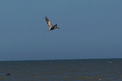 pelican in flight, mid-beach, JI, 27 April 2012