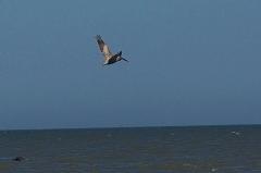pelican in flight, mid-beach, JI, 27 April 2012
