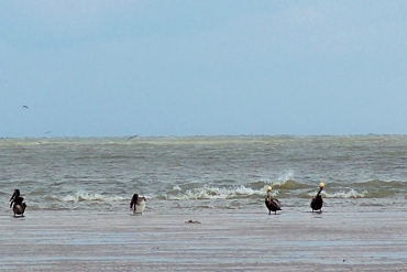 brown pelicans on sand bar, JI, 22 April 2012