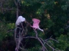 great egret deposes spoonbill, rookery, JI, 23 April 2012