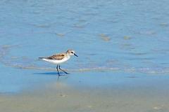 sanderling, mid-beach, JI, 27 April 2012