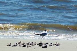 sanderlings and tern, south dunes beach, JI, 26 April 2012