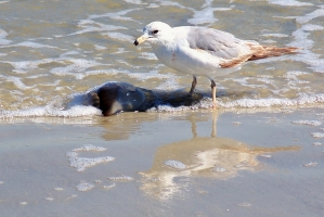 seagull and jellyfish, north beach, JI, 27 April 2012
