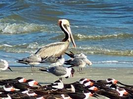 brown pelican, gills, skimmers, South Dunes Beach, JI, 25 April 2012