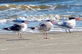 Laughing gulls and royal terns, South Dunes Beach, JI, 25 April 2012