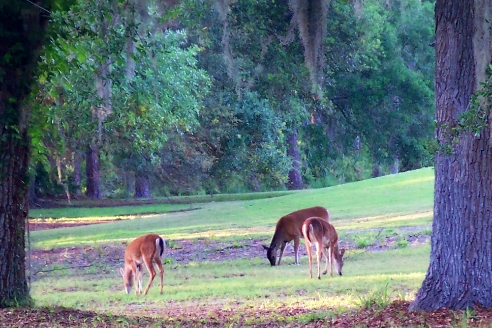 3 deer on golf course, JI, 24 April 2012