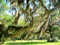 Spanish moss, Fort Frederica, SSI, 23 April 2012