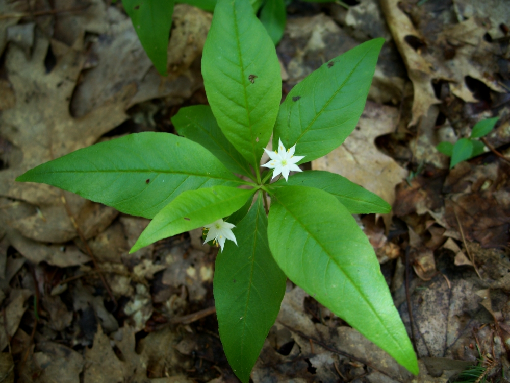 star flower, LCMP, 26 May 2012