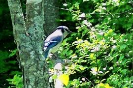 blue jay, PLP, 28 May 2012