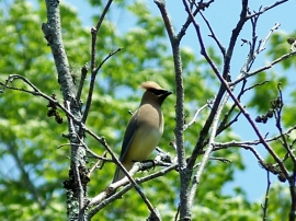 Cedar waxwing, PLP, 28 May 2012