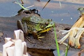 frog, PLP, 31 May 2012