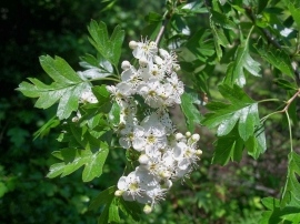 hawthorn in bloom, PLP, 28 May 2012