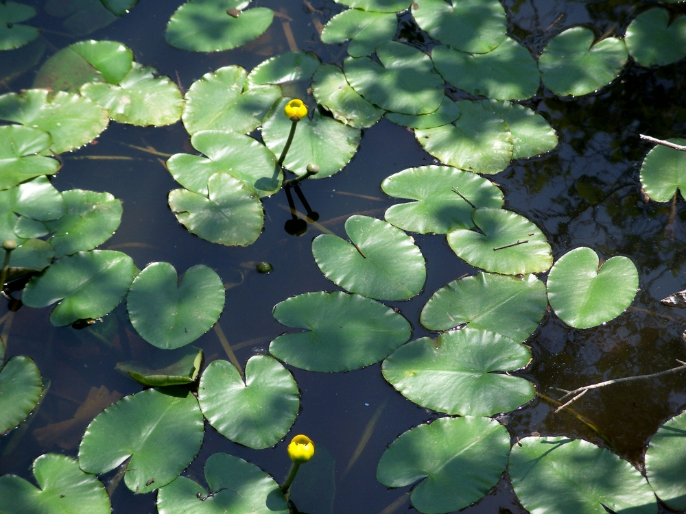 lily pads in flower, PLP, 28 May 2012