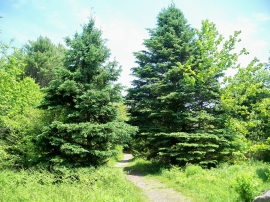 path with spruces, PLP, 28 May 2012