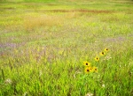 meadow with black-eyed Susans
