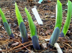 hosta shoots, 3 May 2012