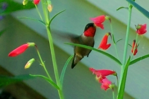 hummingbird in penstemon, 23 June 2012