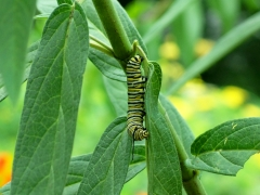 monarch caterpillar on asclepias, 6 Aug 2012