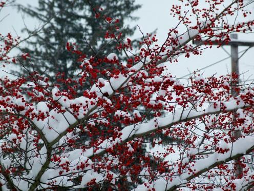 hawthorn berries, Jan. 2008